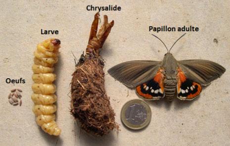 Papillon palmivore
